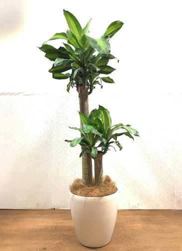 観葉植物 ドラセナ 幸福の木 【130cm】 ドラセナ 幸福の木 8号 #32527 ラスターポット付き