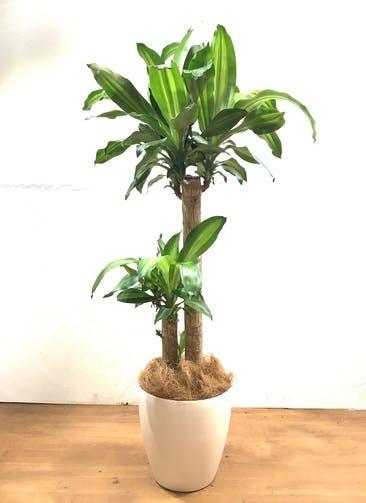 観葉植物 ドラセナ 幸福の木 【130cm】 ドラセナ 幸福の木 8号 #32528 ラスターポット付き