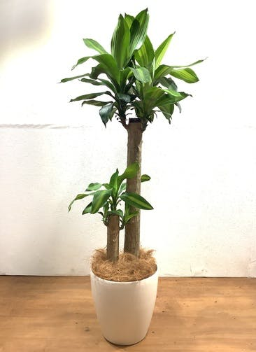 観葉植物 ドラセナ 幸福の木 【130cm】 ドラセナ 幸福の木 8号 #32532 ラスターポット付き