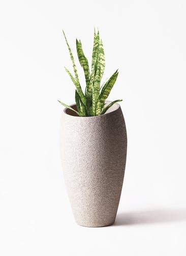 観葉植物 サンスベリア トリファッシアータ 7号  Eco Stone(エコストーン) トールタイプ Light Gray 付き