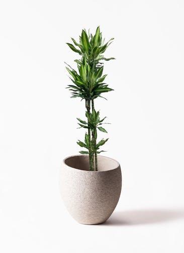 観葉植物 ドラセナ ジェレ 10号 ノーマルEco Stone(エコストーン)  Light Gray 付き