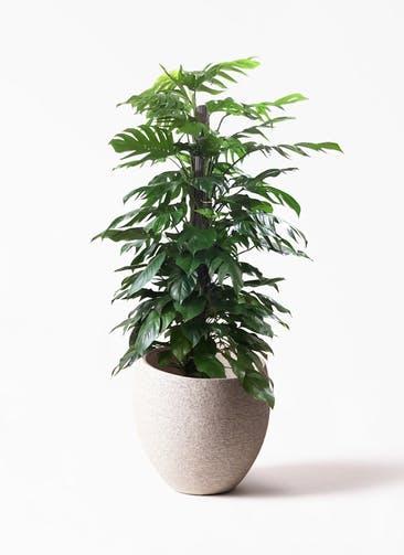 観葉植物 マングーカズラ 10号 木柱  Eco Stone(エコストーン) Light Gray 付き