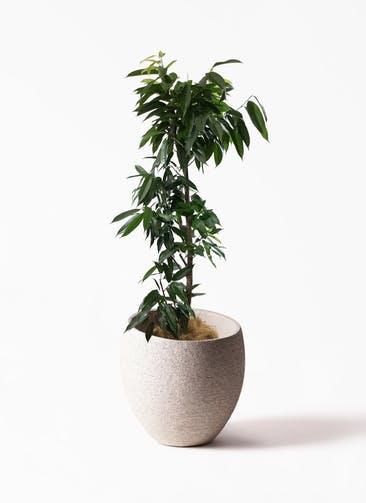観葉植物 フィカス アムステルキング 10号 Eco Stone(エコストーン)  Light Gray 付き