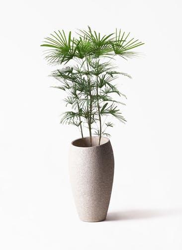 観葉植物 シュロチク(棕櫚竹) 8号  Eco Stone(エコストーン) トールタイプ Light Gray 付き