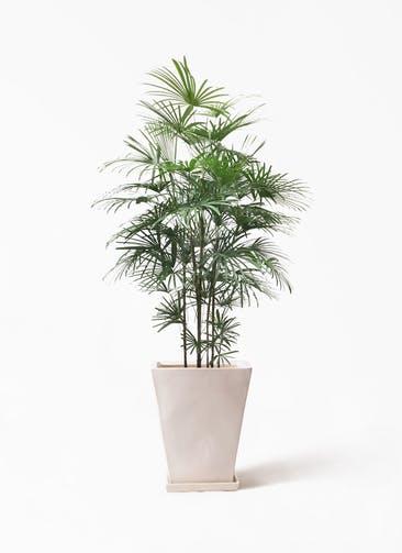 観葉植物 ウンナンシュロチク(雲南棕櫚竹) 10号 スクエアハット 白  付き