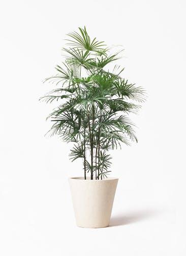 観葉植物 ウンナンシュロチク(雲南棕櫚竹) 10号 フォリオソリッド クリーム 付き
