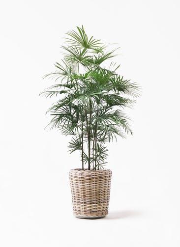 観葉植物 ウンナンシュロチク(雲南棕櫚竹) 10号 モンデリック ラタン 付き