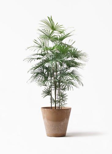 観葉植物 ウンナンシュロチク(雲南棕櫚竹) 10号 アートストーン ラウンド ベージュ 付き