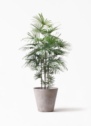 観葉植物 ウンナンシュロチク(雲南棕櫚竹) 10号 アートストーン ラウンド グレー 付き