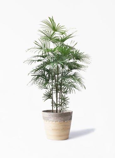 観葉植物 ウンナンシュロチク(雲南棕櫚竹) 10号 アルマ コニック 白 付き