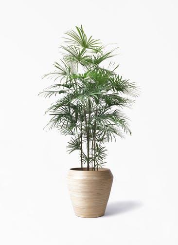 観葉植物 ウンナンシュロチク(雲南棕櫚竹) 10号 アルマ ミドル 付き