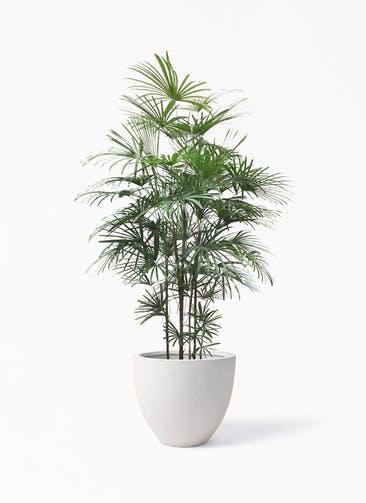 観葉植物 ウンナンシュロチク(雲南棕櫚竹) 10号 スタウト アッシュラウンド  付き