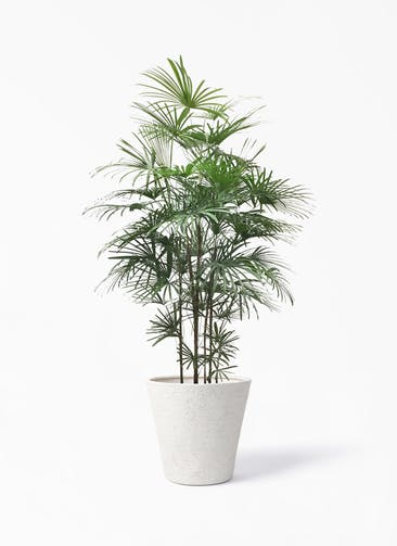 観葉植物 ウンナンシュロチク(雲南棕櫚竹) 10号 ビアスソリッド アイボリー 付き
