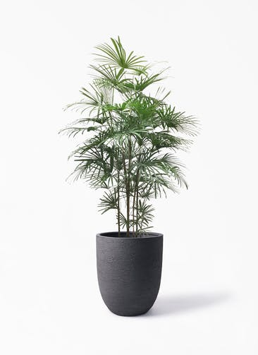 観葉植物 ウンナンシュロチク(雲南棕櫚竹) 10号 ビアスアルトエッグ ブラック 付き
