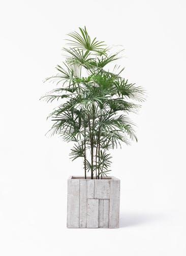 観葉植物 ウンナンシュロチク(雲南棕櫚竹) 10号 パターン キューブ 付き