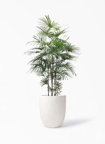 観葉植物 ウンナンシュロチク(雲南棕櫚竹) 10号 フォリオアルトエッグ クリーム 付き