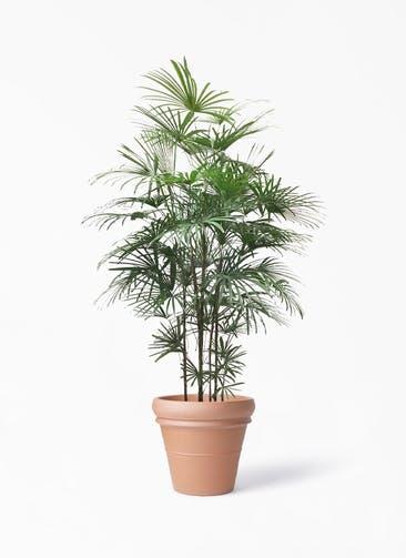 観葉植物 ウンナンシュロチク(雲南棕櫚竹) 10号 トスカーナ リムポット 付き