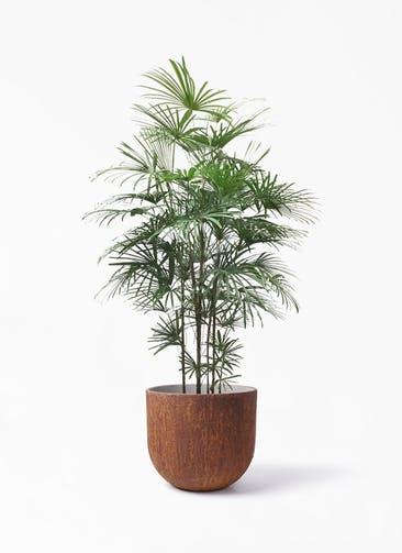 観葉植物 ウンナンシュロチク(雲南棕櫚竹) 10号 バル ユーポット ラスティ  付き