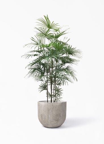 観葉植物 ウンナンシュロチク(雲南棕櫚竹) 10号 バル ユーポット アンティークセメント 付き