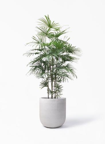 観葉植物 ウンナンシュロチク(雲南棕櫚竹) 10号 バルゴ モノ ライトグレー 付き