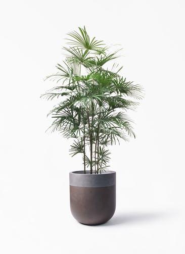 観葉植物 ウンナンシュロチク(雲南棕櫚竹) 10号 バルゴ ツートーン マットブラウン 付き