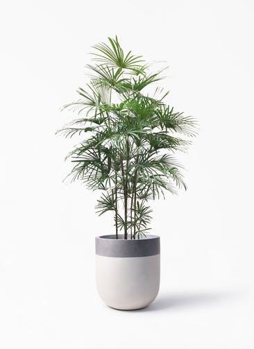 観葉植物 ウンナンシュロチク(雲南棕櫚竹) 10号 バルゴ ツートーン  サンディホワイト 付き