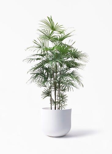 観葉植物 ウンナンシュロチク(雲南棕櫚竹) 10号 アユラニ ライレイ 付き