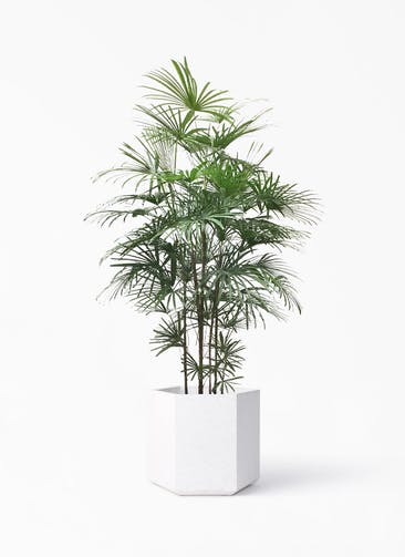 観葉植物 ウンナンシュロチク(雲南棕櫚竹) 10号 コーテス ヘックス ホワイトテラゾ 付き