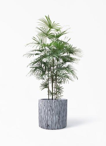 観葉植物 ウンナンシュロチク(雲南棕櫚竹) 10号 コーテス シリンダー チゼル 付き