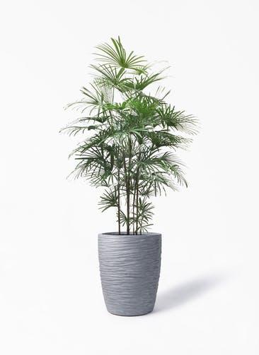 観葉植物 ウンナンシュロチク(雲南棕櫚竹) 10号 サン ミドル リッジ 灰 付き