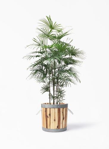 観葉植物 ウンナンシュロチク(雲南棕櫚竹) 10号 ウッドプランター シリンダー  付き
