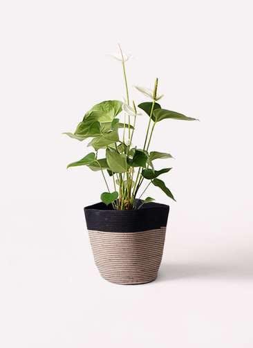 観葉植物 アンスリウム 6号 スミ リブバスケットNatural and Black 付き