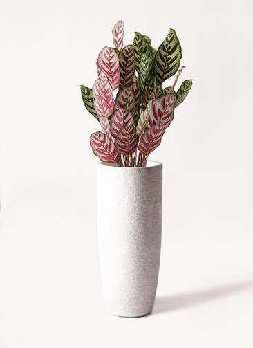 観葉植物 カラテア マコヤナ 6号 エコストーントールタイプ white 付き