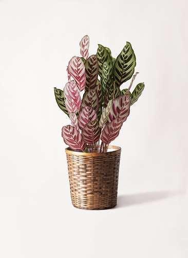 観葉植物 カラテア マコヤナ 6号 竹バスケット 付き