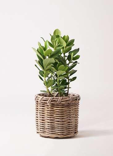 観葉植物 クルシア ロゼア プリンセス 6号 グレイラタン 付き