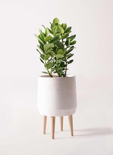 観葉植物 クルシア ロゼア プリンセス 6号 ファイバークレイ white 付き