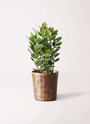 観葉植物 クルシア ロゼア プリンセス 6号 竹バスケット 付き