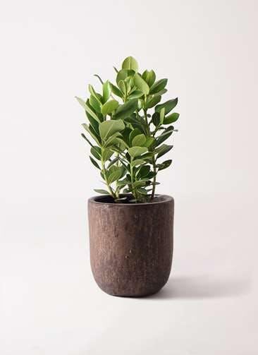 観葉植物 クルシア ロゼア プリンセス 6号 ビトロ ウーヌム コッパー釉 付き