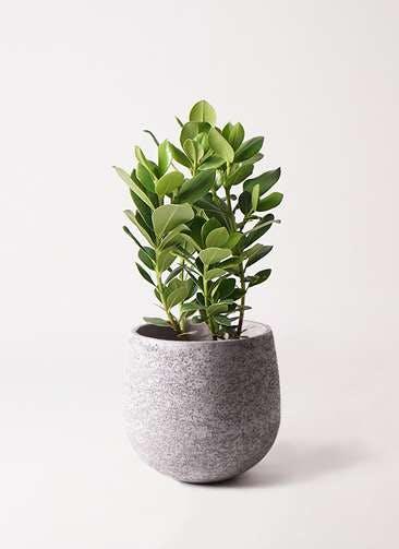 観葉植物 クルシア ロゼア プリンセス 6号 エコストーンGray 付き