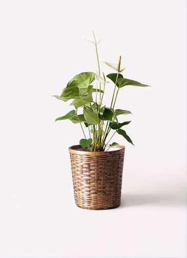 観葉植物 アンスリウム 6号 スミ 竹バスケット 付き