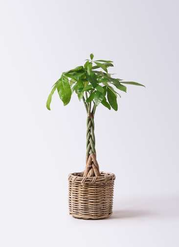 観葉植物 パキラ 6号 ねじり グレイラタン 付き