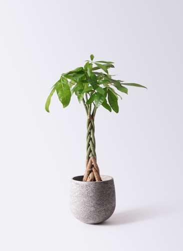 観葉植物 パキラ 6号 ねじり エコストーンGray 付き