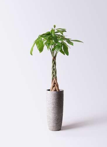 観葉植物 パキラ 6号 ねじり エコストーントールタイプ Gray 付き