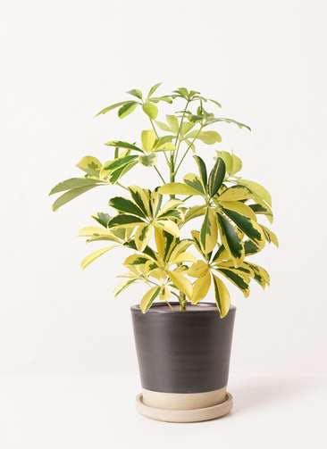 観葉植物 カポック(シェフレラ) 4号 斑入り マット グレーズ テラコッタ ブラック 付き