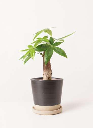観葉植物 パキラ 4号 朴 マット グレーズ テラコッタ ブラック 付き