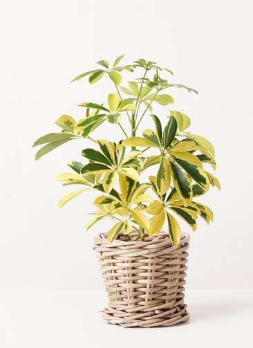 観葉植物 カポック(シェフレラ) 4号 斑入り グレイラタン 付き