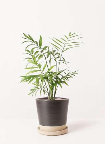 観葉植物 テーブルヤシ 4号 マット グレーズ テラコッタ ブラック 付き