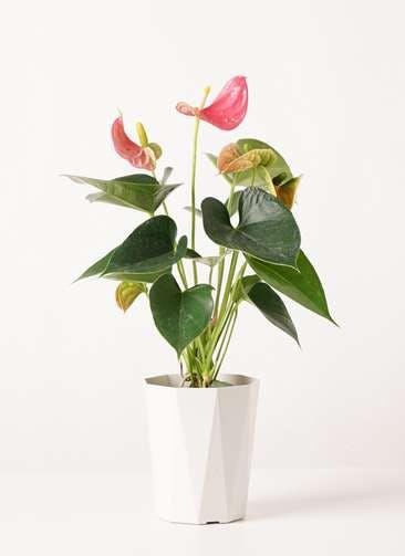 観葉植物 アンスリウム 4号 ピンクチャンピオン プラスチック鉢