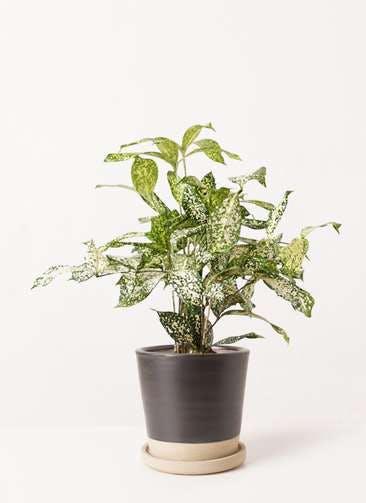 観葉植物 ドラセナ ゴッドセフィアーナ 4号 マット グレーズ テラコッタ ブラック 付き