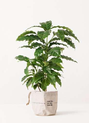 観葉植物 コーヒーの木 4号 ラップサック 付き